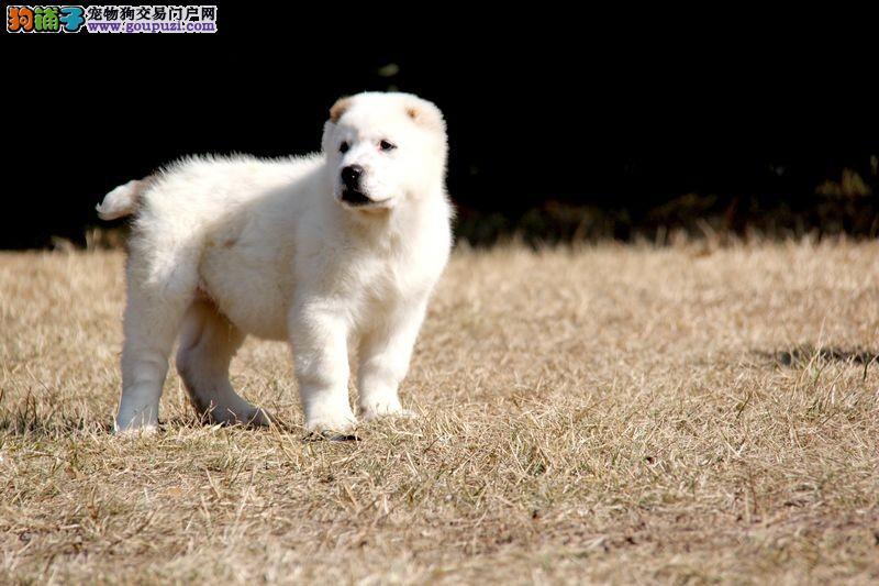 极品纯正的无锡中亚牧羊犬幼犬热销中无锡市内免费送货
