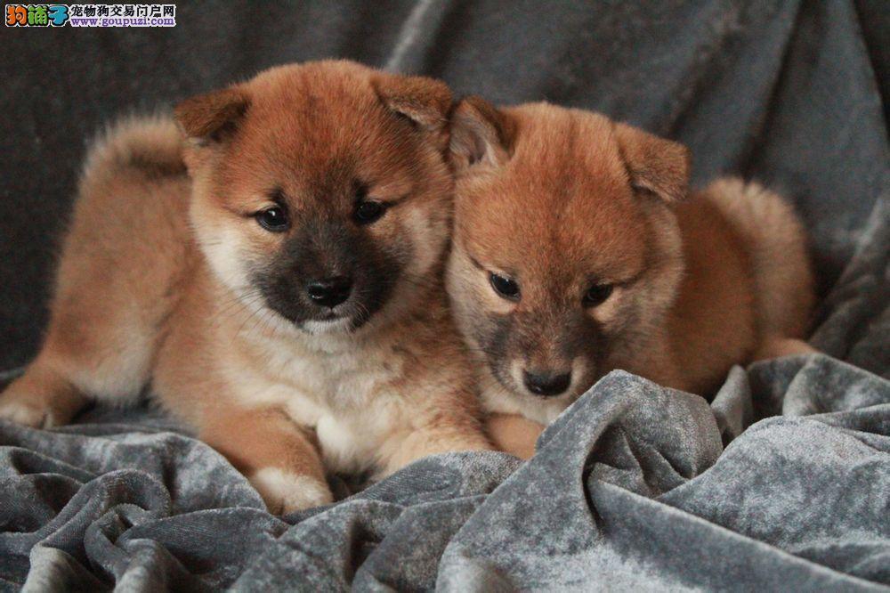 成都哪里有卖健康柴犬的 成都哪里有出售柴犬狗狗