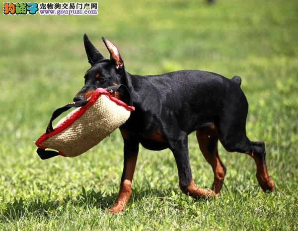 青岛精品高品质杜宾犬幼犬热卖中终身售后协议