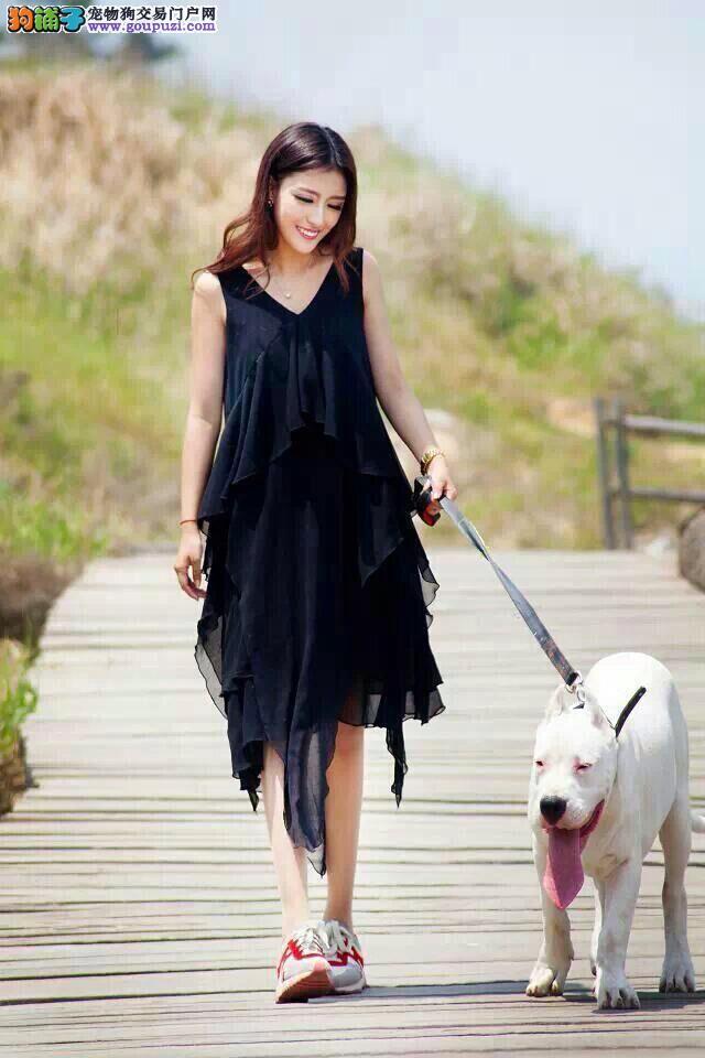 精品杜高犬幼犬一对一视频服务买着放心可签订活体销售协议