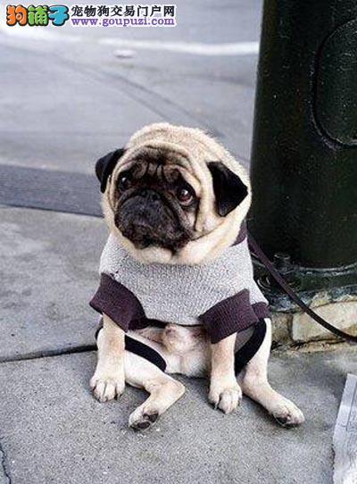 宁波CKU犬舍:极品八哥幼犬,鹰犬,冠军后代,多窝