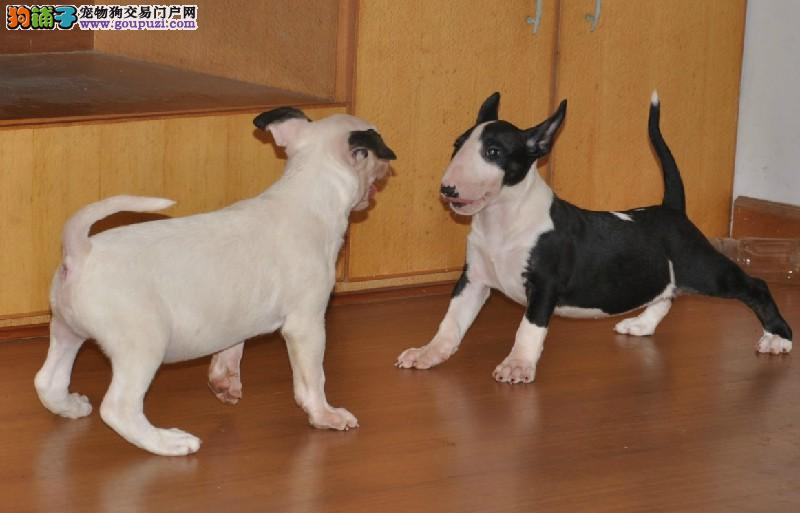 出售极品纯种血统的牛头梗幼犬1