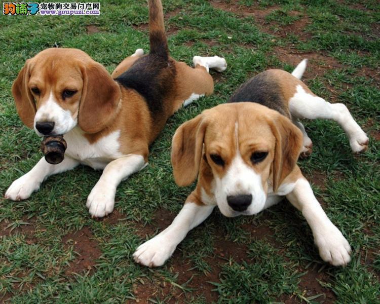宜宾犬舍繁殖比格犬幼犬聪明可爱的伴侣犬血统纯保健康2