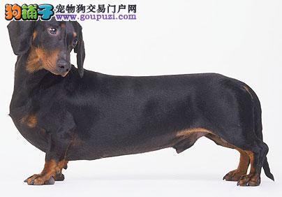 贵阳最大的腊肠犬基地 完美售后质量三包多窝可选