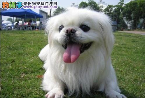 石家庄正规犬舍高品质京巴带证书提供护养指导