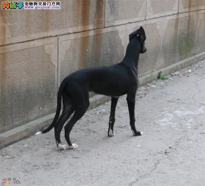 自家繁殖格力犬出售公母都有可直接视频挑选2