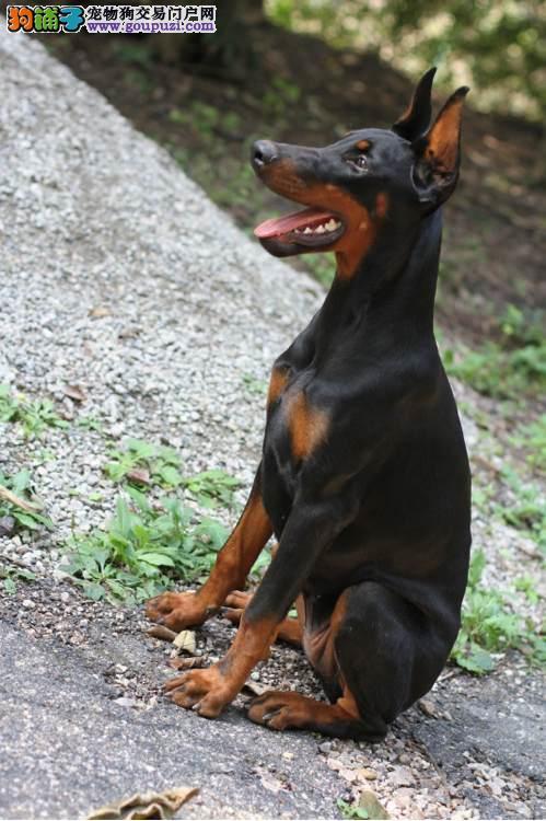 国际注册犬舍 出售极品赛级杜宾犬幼犬欢迎爱狗人士上门选购