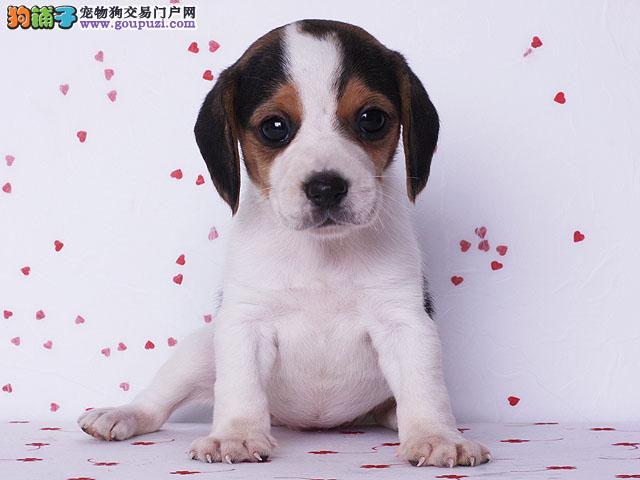 大型狗场出售纯血统比格幼犬 品相好 可来场挑选