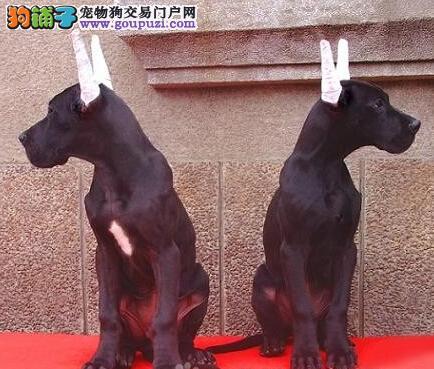 出售大丹犬幼犬品质好有保障可签合同刷卡