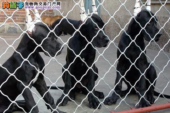 100%纯种健康的大丹犬出售三针疫苗齐全3