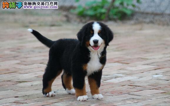 CKU认证犬舍 专业出售极品 伯恩山幼犬我们承诺售后三包