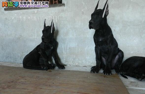 纯种大丹幼犬出售 服从性强 品相好品种纯