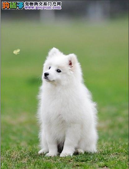 了解银狐犬的特点,选购时很方便