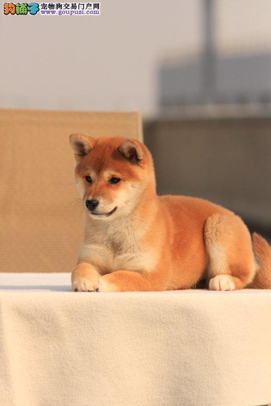 广 州哪里有卖纯种柴犬 狗场优惠出售 欢迎点击进入