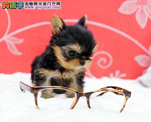 约克夏幼犬出售中 假一赔十品质第一 提供养护指导