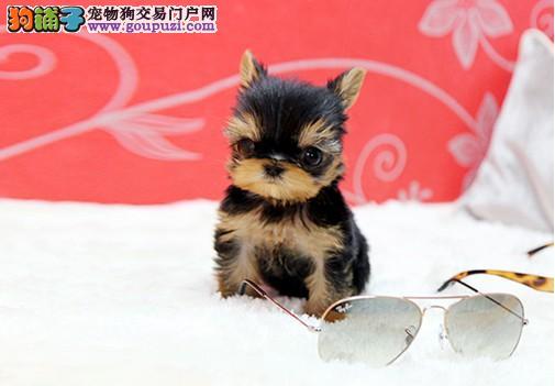 CKU认证贵族犬业精品约克夏,欢迎上门选购