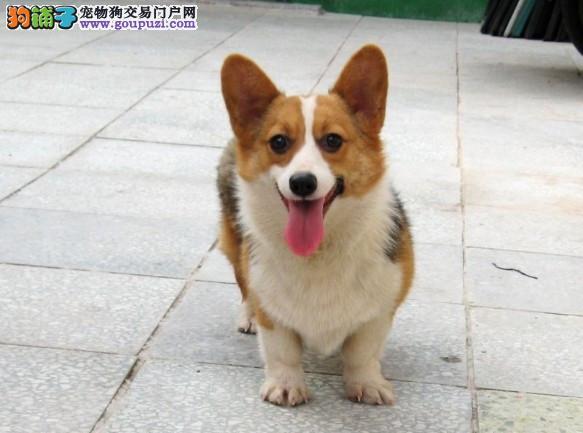 广州哪里有狗场卖柯基犬 威尔士柯基犬 广州买狗到尚雅