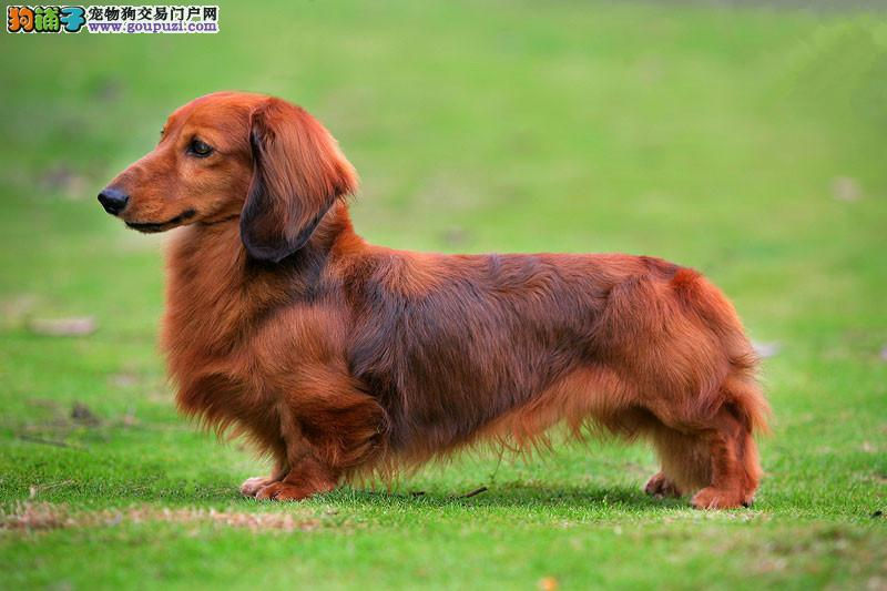 精品腊肠犬 保纯保健康 疫苗和驱虫均已做完 可签协议