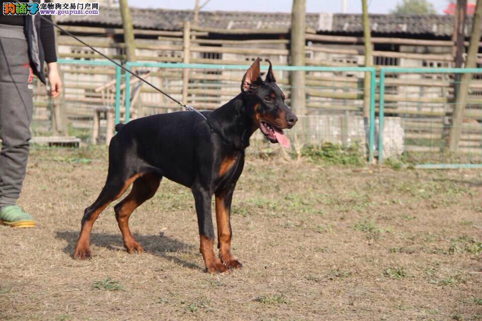 热销杜宾犬幼犬 专业繁殖包质量 喜欢加微信