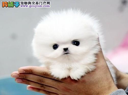 深圳什么地方有卖茶杯贵宾犬 纯种茶杯犬3