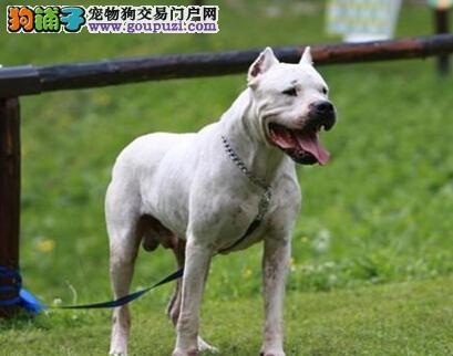 预防狗狗耳病 杜高犬外耳炎的诊断与治疗