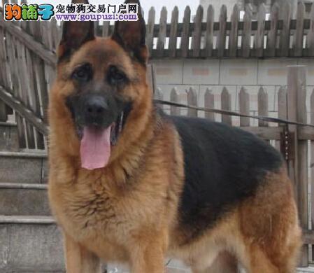 禁止狗狗早恋 了解狼狗节育的三种方法