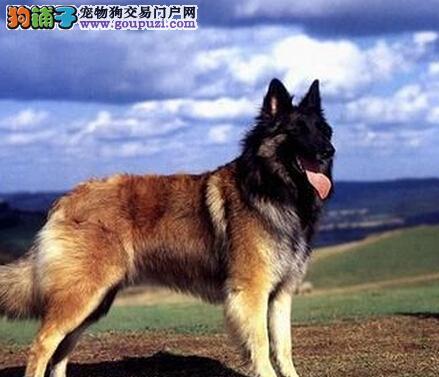繁衍生息 狼狗配种期间的五个注意要点