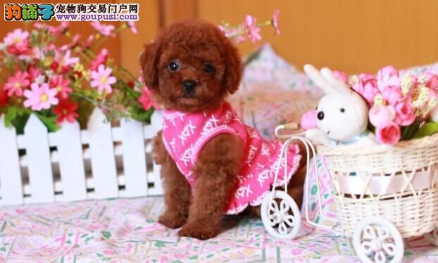 茶杯泰迪狗多少钱一只广州泰迪熊狗价格玩具型泰迪出售1