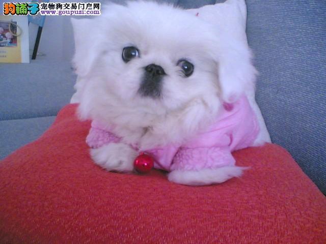 如何饲养京巴犬即健康又美丽呢5