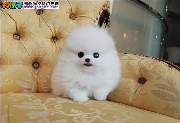 广州哪里有小体茶杯卖,这种狗要多少钱一只