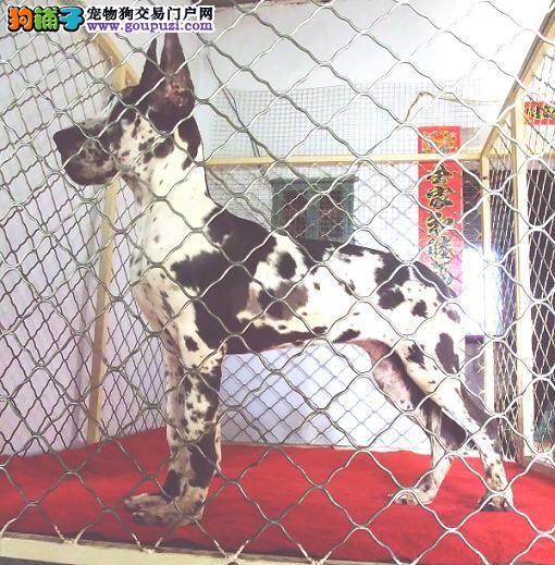 最大犬舍出售多种颜色大丹犬微信视频看狗