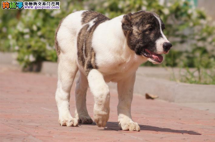 拉萨养殖场直销完美品相的中亚牧羊犬可刷卡可视频