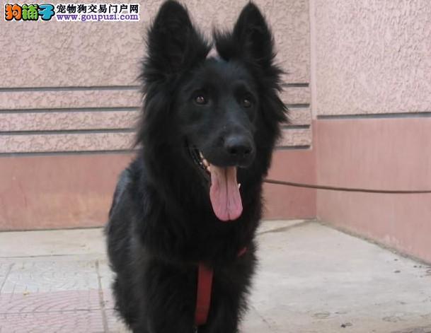 CKU认证犬舍出售高品质比牧微信咨询看狗狗视频3