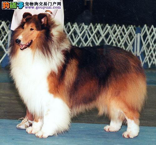出售极品苏牧幼犬完美品相加微信送用品