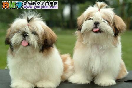 徐州售聪明温顺西施犬幼犬华丽长毛尊贵品种高端伴侣犬