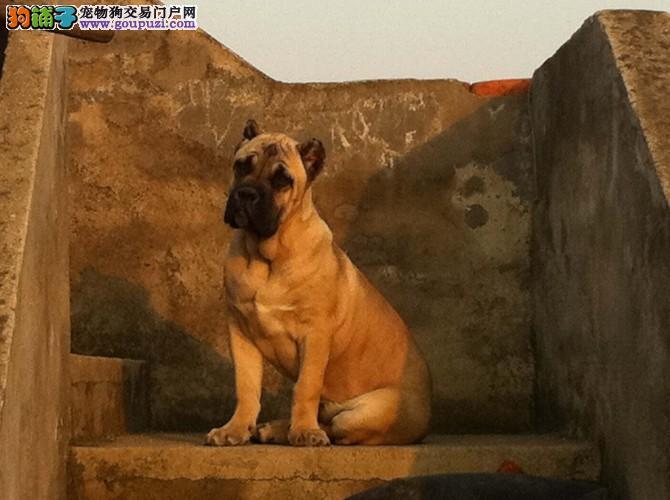 出售卡斯罗护卫犬 可实地挑选