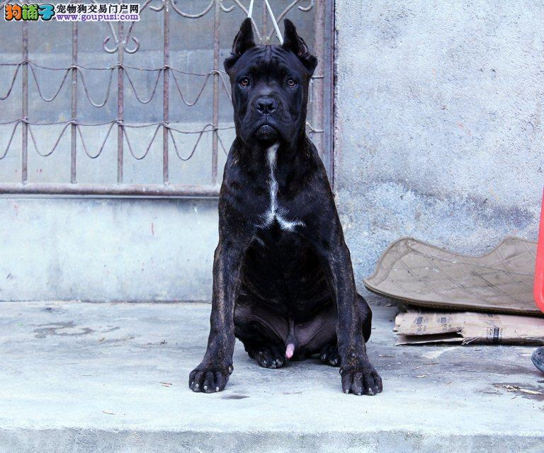 专业繁殖高品质赛级卡斯罗幼犬纯种2