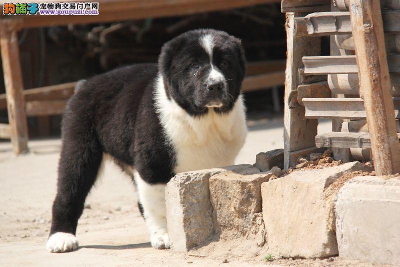 犬舍直销品种纯正健康中亚牧羊犬以品质惊世人