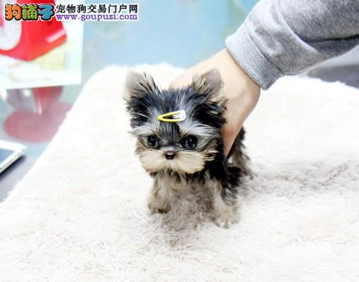 广州茶杯犬专业繁殖出售 可人约克夏犬幼犬娇小可爱