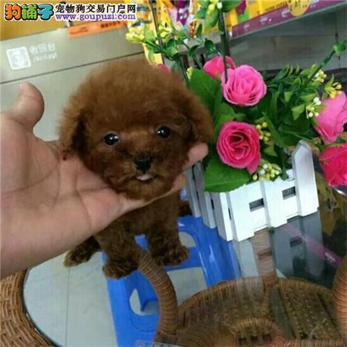 青岛自家狗场繁殖直销茶杯犬幼犬欢迎您的指导2