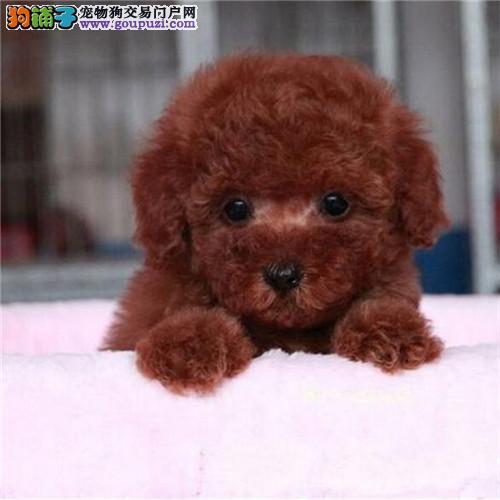 广州茶杯泰迪熊犬价格 广州哪家狗场买茶杯犬好1