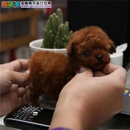 青岛自家狗场繁殖直销茶杯犬幼犬欢迎您的指导3