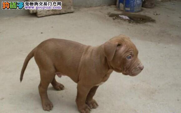 精品高品质比特犬幼犬热卖中保终身送用品