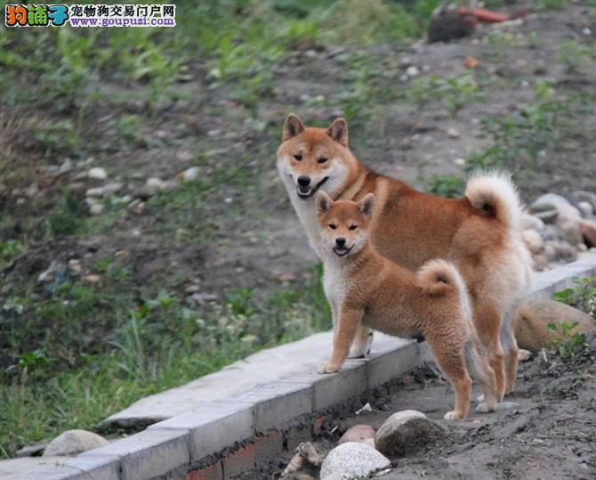 CKU犬舍认证出售高品质哈尔滨柴犬最优秀的售后