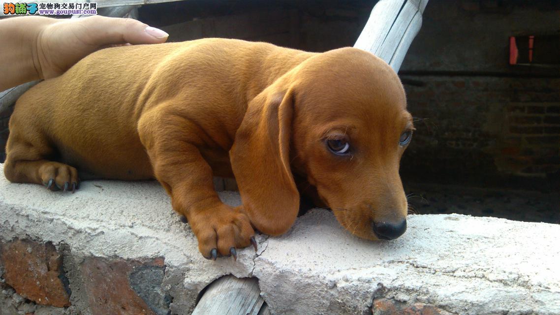 精品腊肠犬幼犬一对一视频服务买着放心优惠出售中狗贩子勿扰