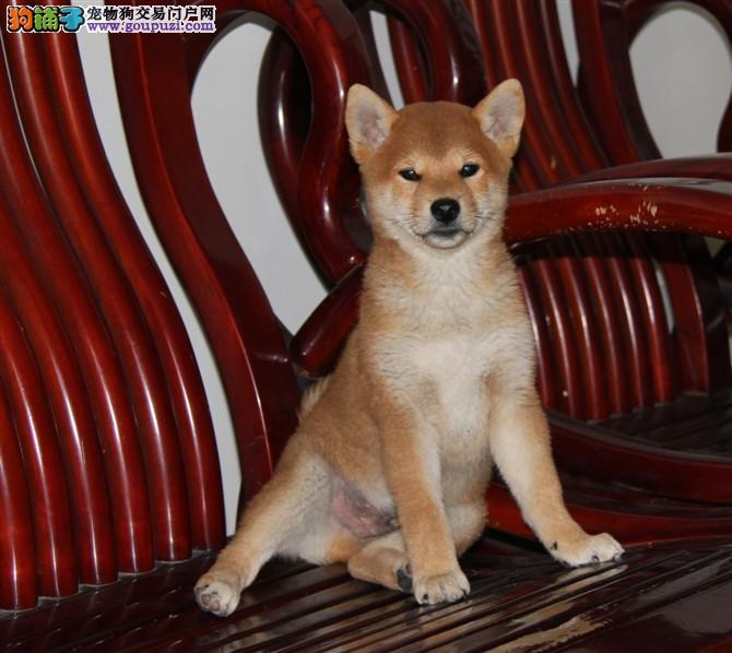 多种颜色的福州柴犬找爸爸妈妈质量三包完美售后