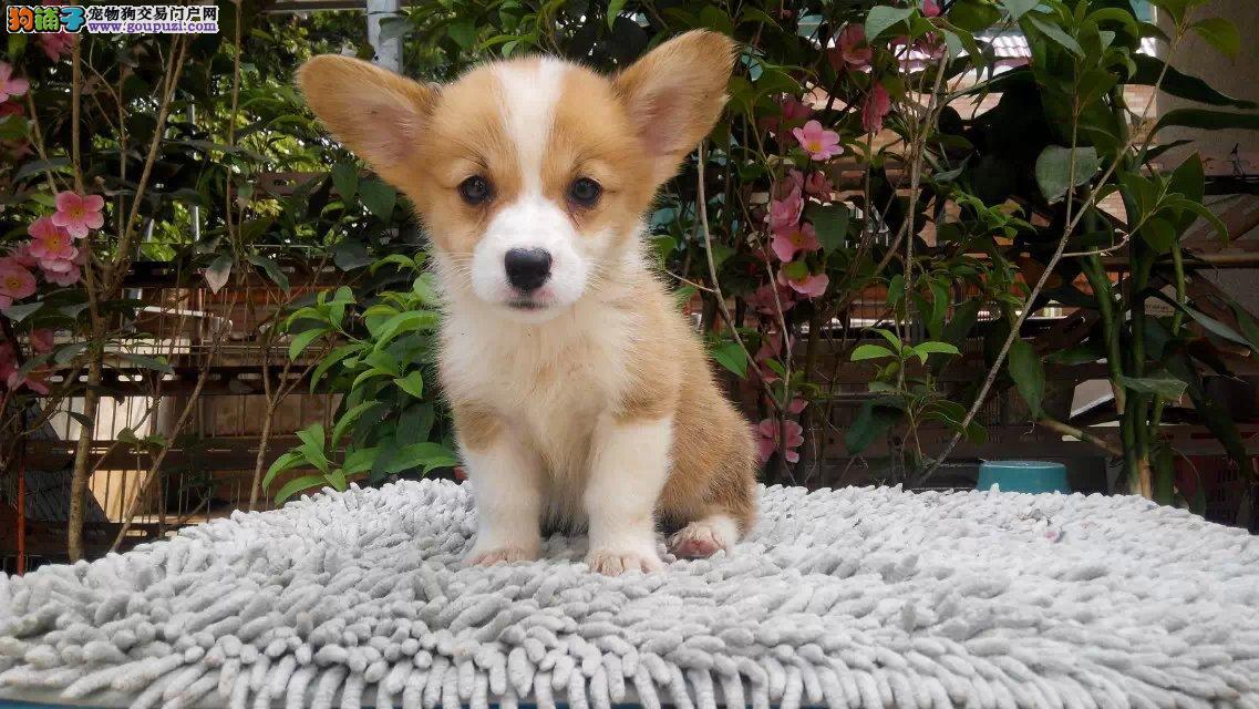 上海出售柯基犬幼犬可上门看狗保纯种健康可签协议