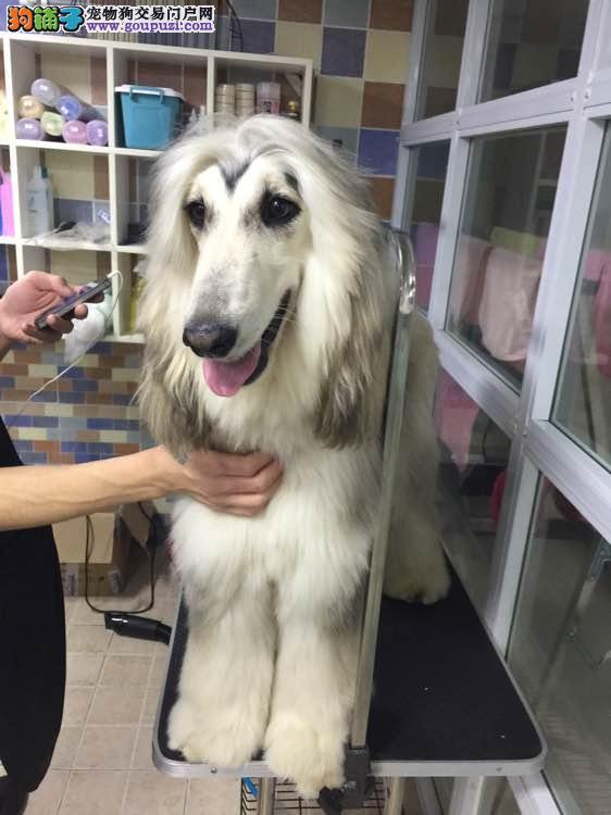 纯种阿富汗猎犬幼犬 阿富汗犬大毛量大骨架 健康灵活1