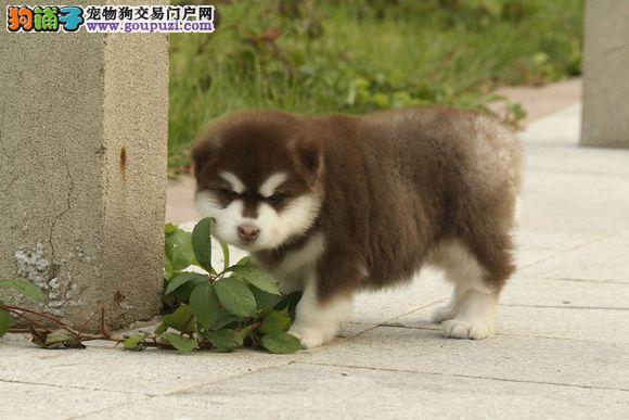 高品质阿拉斯加幼犬质量三包 完美售后2
