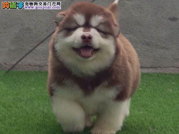 高品质阿拉斯加幼犬质量三包 完美售后